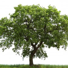 Oak Tree Identification Guide For The Purposes Of Woodworking