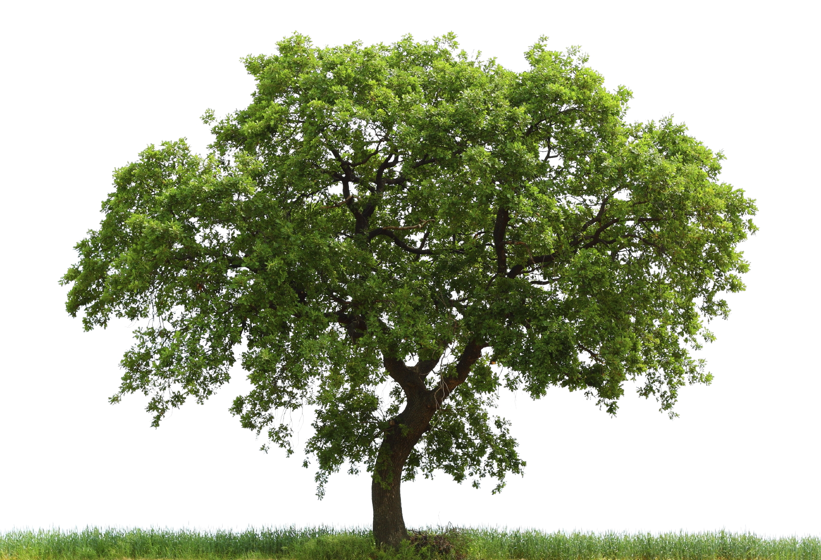 Oak tree identification guide for the purposes of