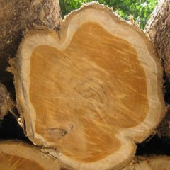 Why is Heartwood Darker in Color than Sapwood?
