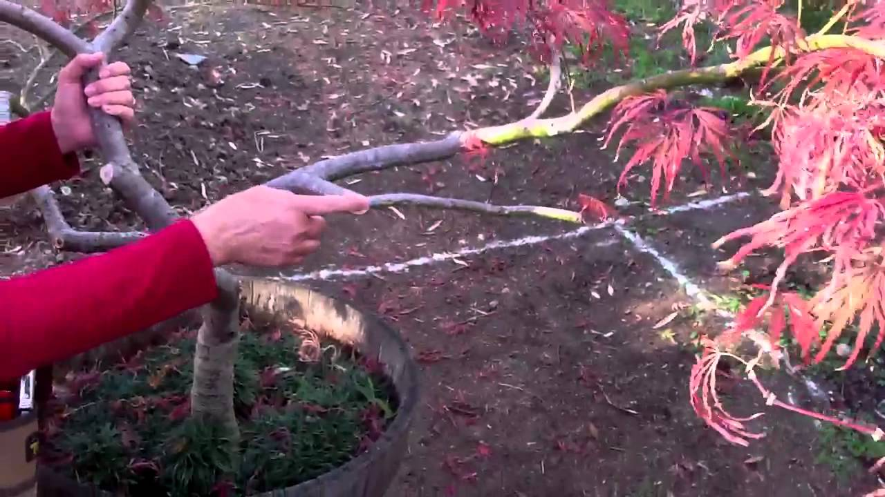 Japanese maple: planting, care 6