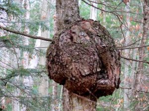 what is a burl